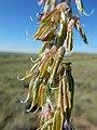 Astragalus bisulcatus (27587163765).jpg