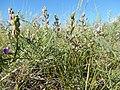 Astragalus flexuosus (27587160865).jpg