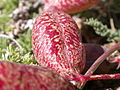 Astragalus platytropis (3848706881).jpg