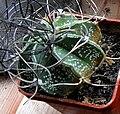 Astrophytum senile.jpg