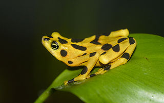 Panamanian golden frog rare species of toad