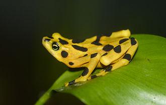 Frog - Panamanian golden frog (Atelopus zeteki).