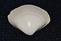 Atlantic Surf Clam (Spisula solidissima) Top (15679690994).jpg