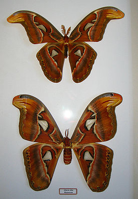 Attacus atlas 2022.JPG