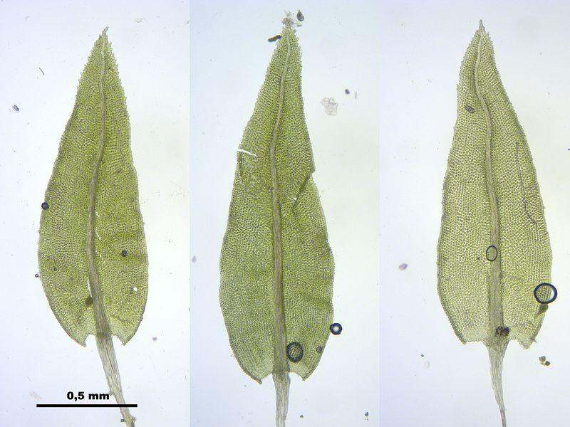 File:Aulacomnium androgynum (a, 145322-481416) 4038.JPG