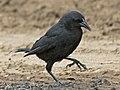 Austral Blackbird RWD.jpg