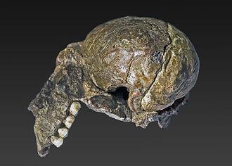 Australopithecus africanus - Image: Australopithecus africanus (Plesianthropus transvaalensis holotype)