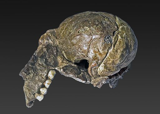 Australopithecus africanus (Plesianthropus transvaalensis holotype)