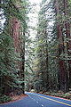 Avenue of the Giants - Humboldt Redwoods State Park - DSC02376.JPG
