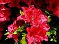 Azalée en fleur.JPG