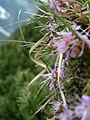 Azalea montana (2943601755).jpg