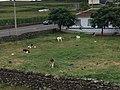 Azores Veal Farm.jpg
