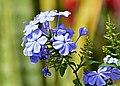 Azulina (Plumbago auriculata) - Flickr - Alejandro Bayer.jpg