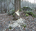 Bäverspår Kottla.jpg
