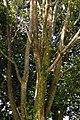 Búcaro (Erythrina fusca) (14428868623).jpg