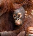 Baby Orangutan 2 (7109564287).jpg