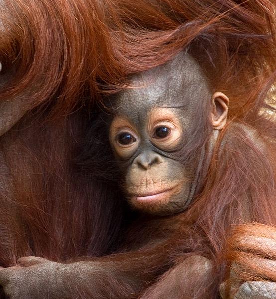File:Baby Orangutan 2 (7109564287).jpg