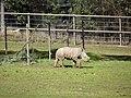 Baby rhinoceros - panoramio.jpg