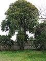 Backhousia citriodora F.Muell. (AM AK315443-2).jpg