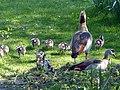 Bad Sassendorf – Nilgans-Familie im Kurpark - panoramio.jpg