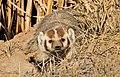Badger Seedskdaee National Wildlife Refuge 01 (13676648114).jpg