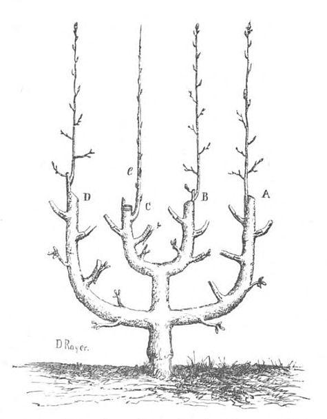 l art de greffer restauration des arbres par la greffe wikisource. Black Bedroom Furniture Sets. Home Design Ideas