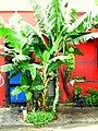 Bananeira - panoramio - Alexandre Possi.jpg