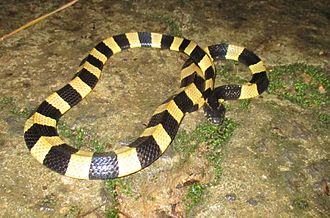Banded krait - Image: Banded krait @ Cat Tien National Park