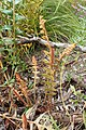 Banksia repens kz01.jpg