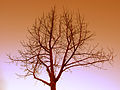 Bare tree at sunset.jpg