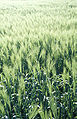 Barley2.jpg