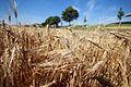 Barley - Gerste II - panoramio.jpg
