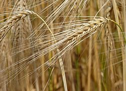 251px-Barley_J1.jpg