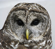 Barred Owl head closeup