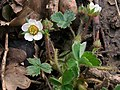 Barren Strawberry (Potentilla sterilis) (4511648544).jpg