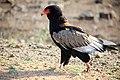 Bateleur eagle, Kruger National Park, South Africa (29208269485).jpg