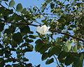 Bauhinia variegata 01350.jpg
