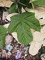 Bayur (Pterospermum diversifolium) juvenile leaves.jpg