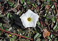 Beach morning-glory (Ipomoea imperati) 11.jpg