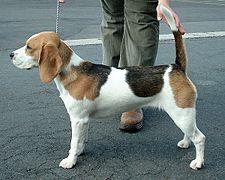 Beagle 600.jpg