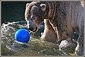 Bear with blue ball (46071319052).jpg