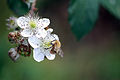 Bee (1490490717).jpg