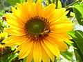 Bee enjoying the juice (nectar) from the sunflower.jpg