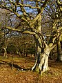 Beech tree, Berry Beeches, New Forest - geograph.org.uk - 691971.jpg