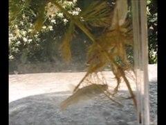 File:Beetle larva (Lethocerus patruelis) attacking fish (Pseudorasbora parva) - ZooKeys-319-119-s001.ogv