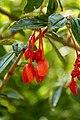 Begonia fuchsioides - Botanischer Garten Dresden (2).jpg