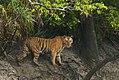 Bengal Tigress in Sundarban.jpg
