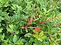 Berberis sp (20769312713).jpg