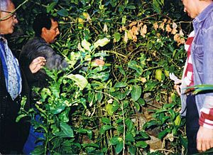 Moroccan citron - Berbers at their etrog plantations