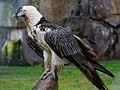 Berlin Tierpark Friedrichsfelde 12-2015 img15 Bearded vulture.jpg